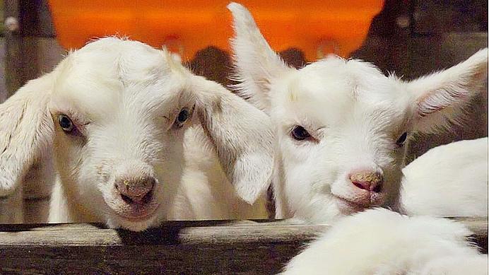 一口纯羊奶,倍恩喜如何获得全球妈妈的信任?